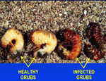 Grub control - Beneficial Nematodes - Grub Guard (Hb/Sf)